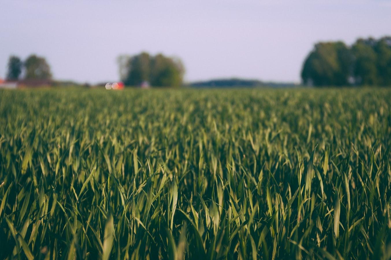 Un champ de maïs utilisant l'herbicide de Monsanto