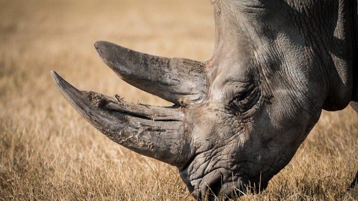 corne rhinoceros