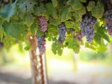 Vigne France Viticulture Taxe Environnement Écologie