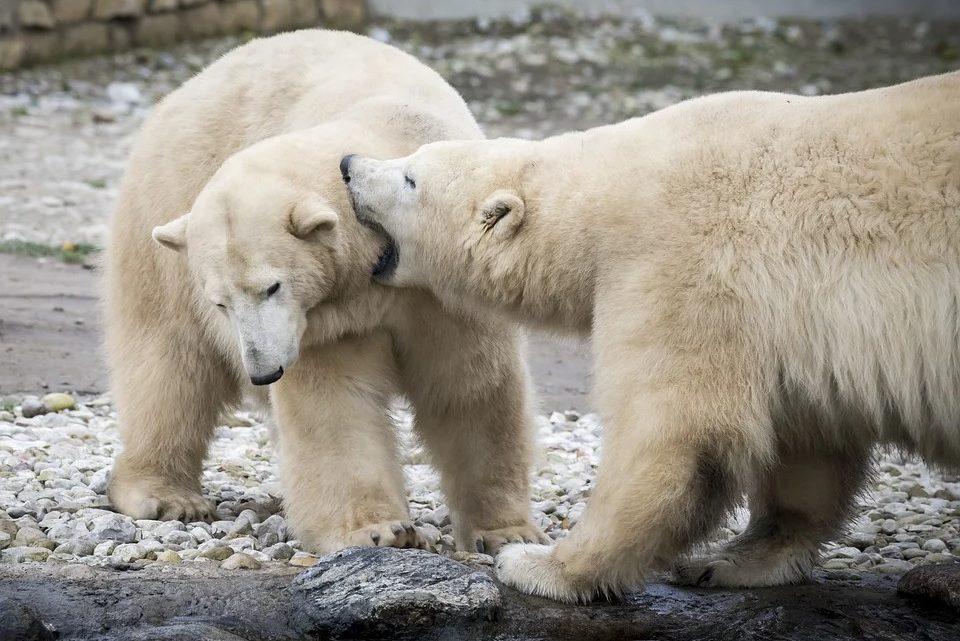 ours polaires voie extinction