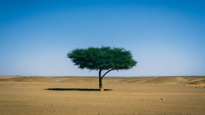 Un arbre dans le désert du Sahara, en Afrique.
