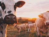 Des vaches dans une prairie.
