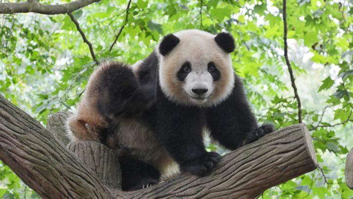 Le panda, symbole de la Chine.